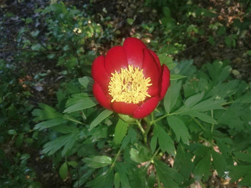 SuperSonic Radio - Unde în România tocmai a înflorit o floare rară?
