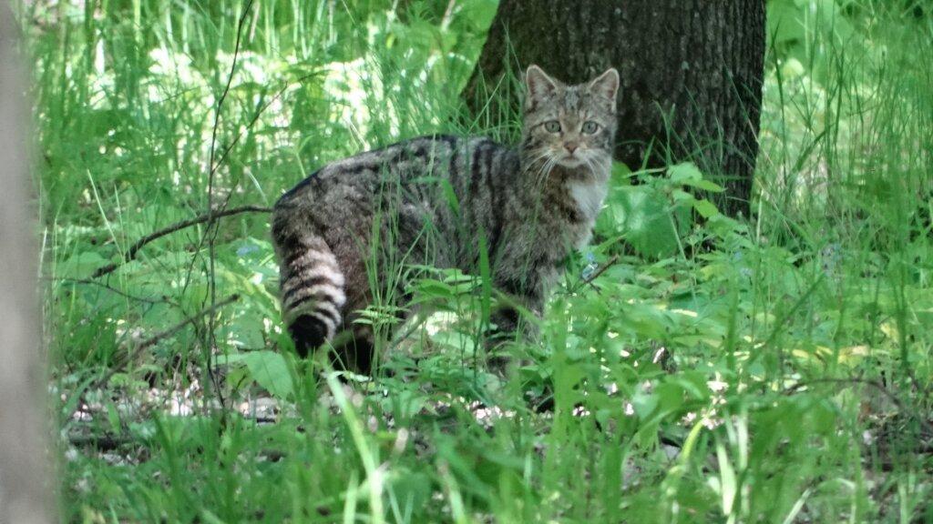 SuperSonic Radio - Imagini rare cu o pisică sălbatică, surprinse în Vaslui